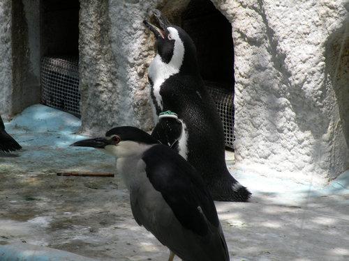 ケープペンギンとゴイサギ