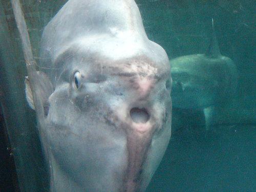サンシャイン国際水族館のマンボウ