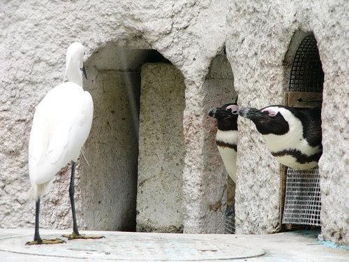 ケープペンギン怒る