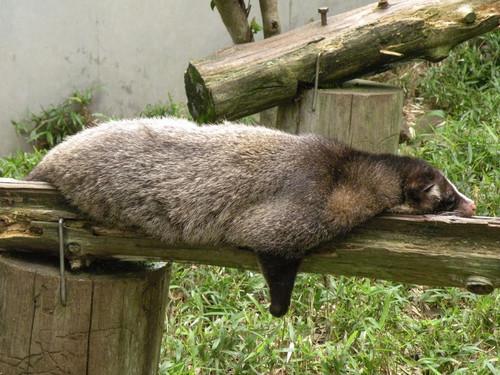 ハクビシン,Masked Palm Civet