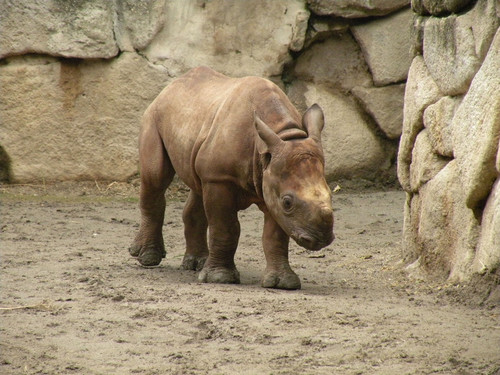 クロサイ,Black rhinoceros