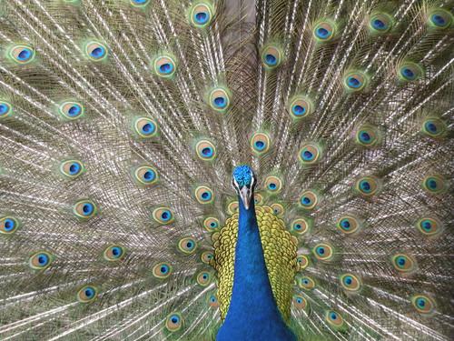 インドクジャク,Indian peafowl