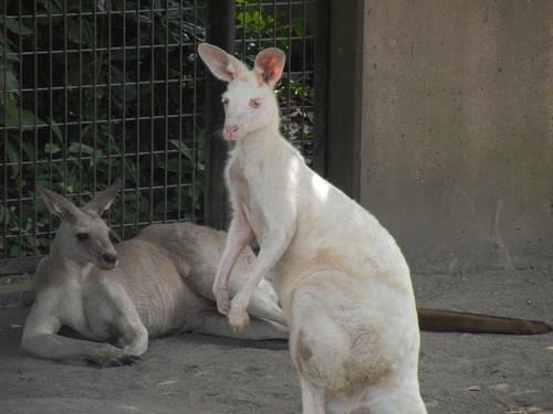 オオカンガルー,Eastern grey kangaroo