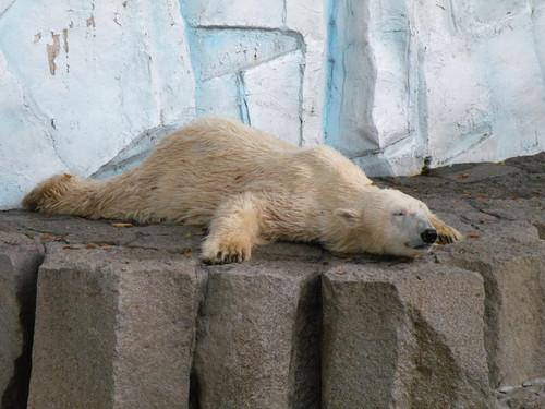 ホッキョクグマ,Polar Bear