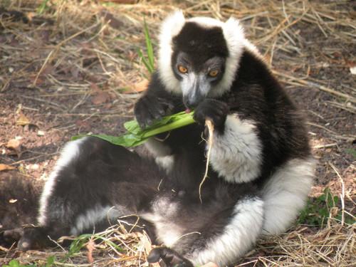クロシロエリマキキツネザル,Black-and-White Ruffed Lemur