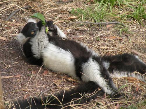 クロシロエリマキキツネザル(Black-and-White Ruffed Lemur