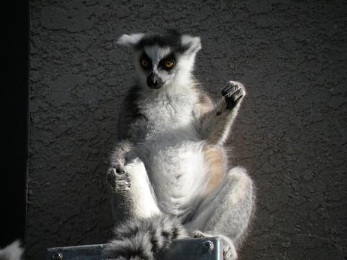 ワオキツネザル,Ring-tailed Lemur