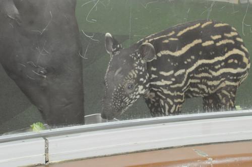 マレーバク,Malayan tapir