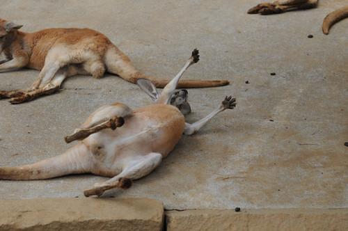 アカカンガルー,Red kangaroo