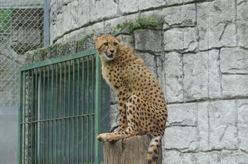 チーター,Cheetah