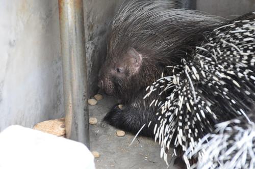 アフリカタテガミヤマアラシ,African crested porcupine