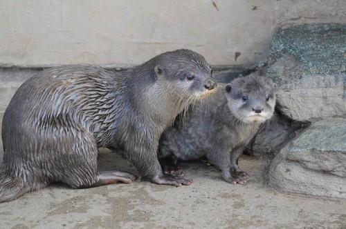 コツメカワウソ,Oriental Small-clawed Otter