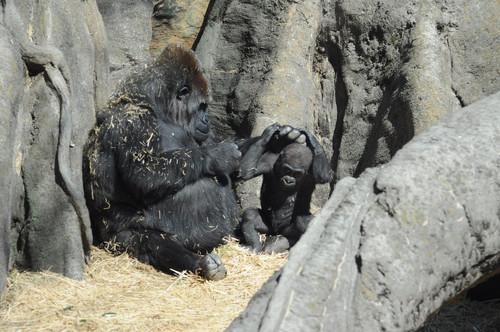 ニシローランドゴリラ,Western Lowland Gorilla