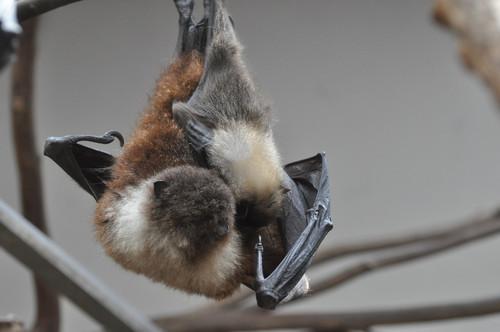 オリイオオコウモリ,Ryukyu Flying Fox