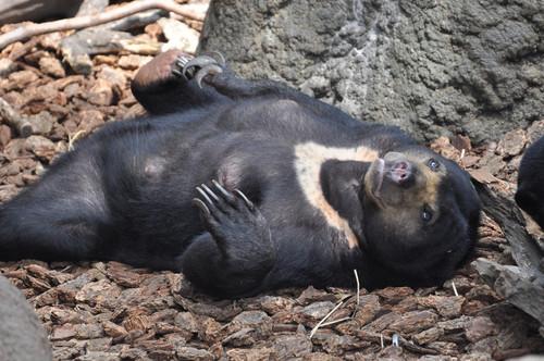 マレーグマ,Sun Bear